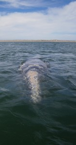 Gray whale at Magdalena Bay